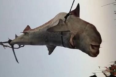 ગીર સોમનાથ: તમે જોઇ ના હોય એવી મહાકાશ માછલી દેખાઇ વણાકબારા બંદરે